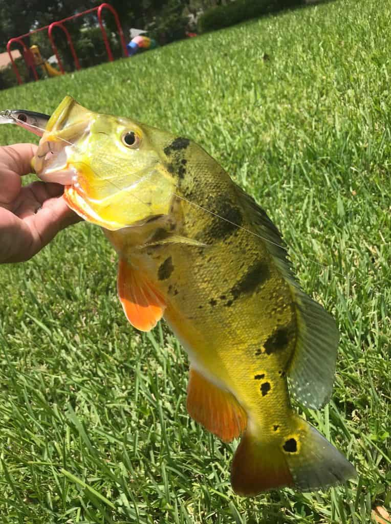 colorful peacock bass
